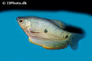 trichopodus-trichopterus-1.jpg
