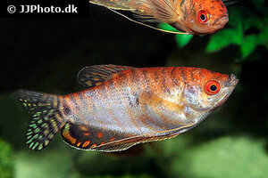 trichopodus-trichopterus-red.jpg