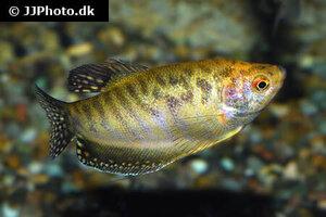 trichopodus-trichopterus-yellow-4.jpg