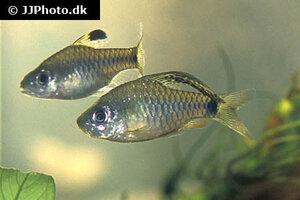 Oreichthys crenuchoides 1.jpg