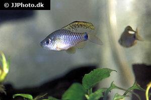 Oreichthys crenuchoides 4.jpg
