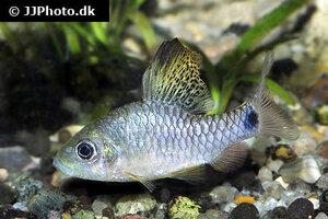 Oreichthys crenuchoides 8.jpg