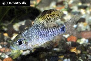 Oreichthys crenuchoides 9.jpg