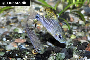 Oreichthys crenuchoides 10.jpg