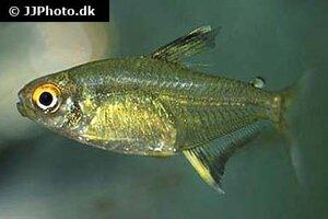 Hyphessobrycon pulchripinnis 2.jpg