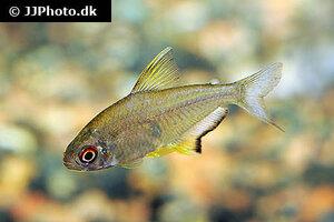 Hyphessobrycon pulchripinnis 8.jpg