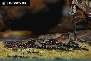 Bunocephalus coracoideus 5.jpg