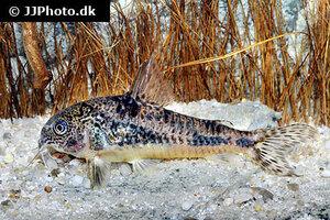 Corydoras paleatus 8.jpg