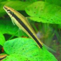 600px-Crossocheilus_siamensis.jpg