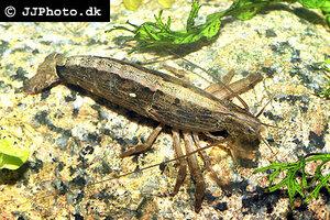 Atyopsis moluccensis - Common fan shrimp - 05.jpg
