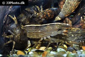 Atyopsis moluccensis - Common fan shrimp - 06.jpg