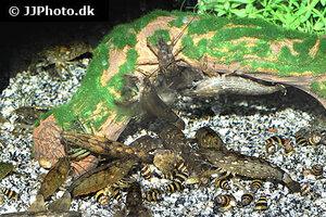 Atyopsis moluccensis - Common fan shrimp - 08.jpg