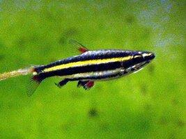 dwarf-pencilfish.jpg