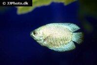 trichogaster_lalius_blue_neon_2_20140709_1447281616.jpg