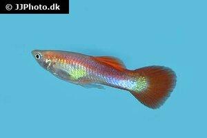 Poecilia reticulata 20.jpg