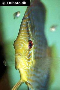 Symphysodon aequifasciatus red turquoise 4.jpg