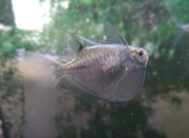 Spotfin Hatchetfish.png