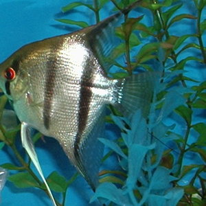 My Silver Angelfish