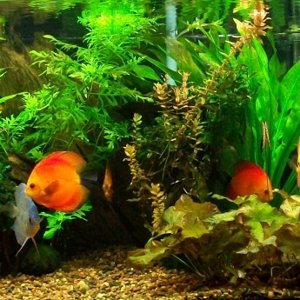 My_75g_Planted_Discus_10-1-10
