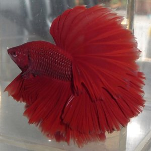 Red Halfmoon show male