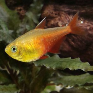 Orange Von Rio Tetra