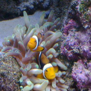 Bubble Tip Anemone Hosting Percula Pair
