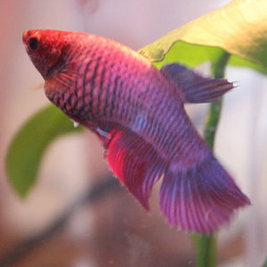 Tulip the female betta