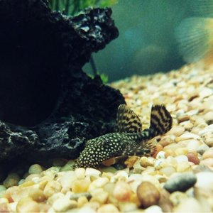 Hippo the Bristlenose Pleco