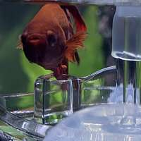 Mr Fishy The Red Betta Fish