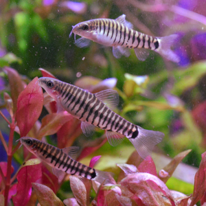 Hovering Zebra Loach.png
