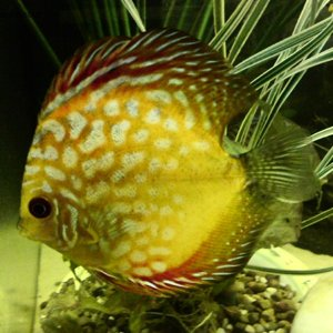 chequerboard discus