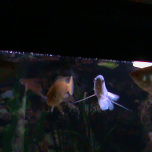 Gouramis and Yellow Lab hanging out