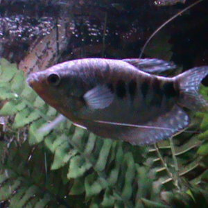 Our Opaline Gourami, was the first gourami in the tank and is the biggest at about 4-5 inches. He used to be aggressive to the other two Gourami ,but