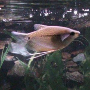 The beautiful Pearl Gourami, one of our favorites!