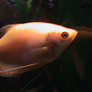 Golden Gourami(although he has no black marking like other gold's I have seen since at the LFS) I'm wondering if he is a moonlight mix?