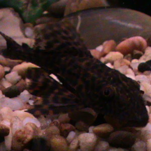 Our pleco for the community. He loves algea wafer and harassing my Blue Johanni for some reason???