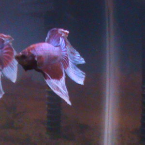 My Betta buddy flaring at himself in a mirror we put up for a few minutes....this pic does his flare no justice. When he was fully flared up he looked