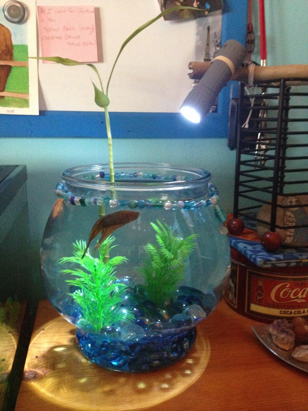 Lucky Bamboo Betta Fish Together Aquarium Plants 269387