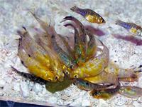 Juvenile Mollies eating algae wafer