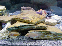 75 Gallon Cichlid Aquarium