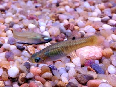 Endler's Fish
