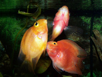 Blood Parrot Cichlids