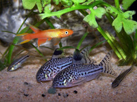 Corydoras and Killifish
