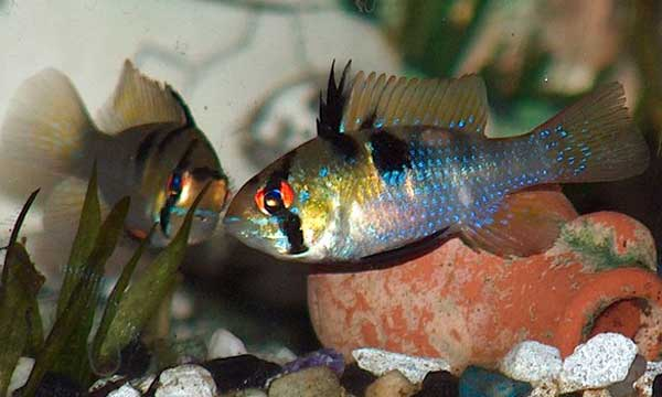 Animal World Of Water German Blue Ram Cichlid