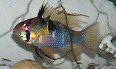 Blue Ram Cichlid Care Size Lifespan Tankmates Breeding