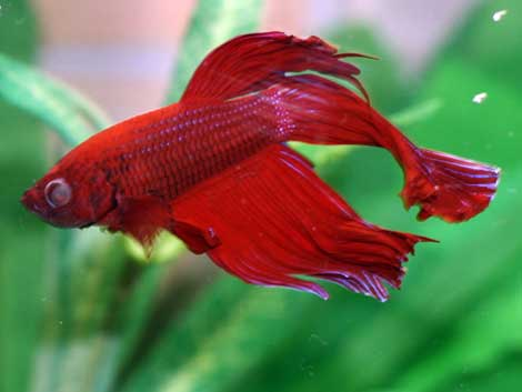 Betta fish their bubbly journey learn about betta for Fish eye skin