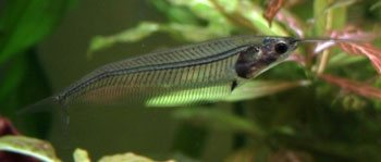 Glass Catfish