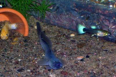 Member spotlight iloveengl for Dragon fish goby