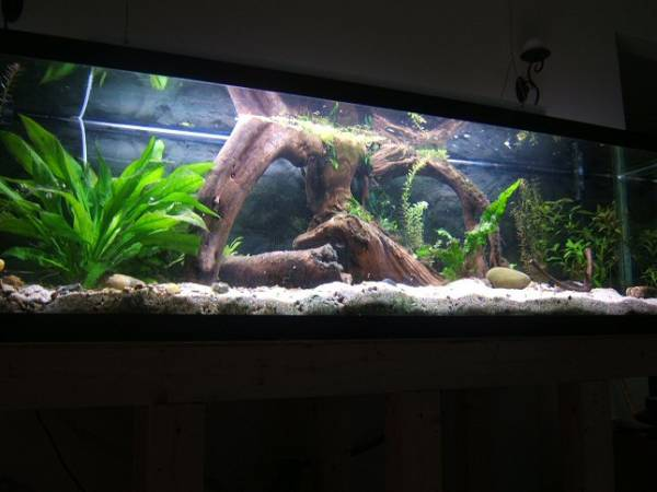 Member spotlight allie for African cichlid tank decoration