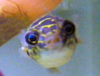 Figure 8 puffer fish for Figure 8 puffer fish